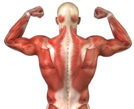 Human body muscle view of back